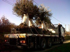 4 oliviers centenaires